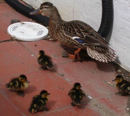 Photo of Duck Family copyright 2004 Owen Linderholm